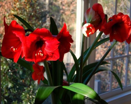 Pohlednice cervena amarylka  -