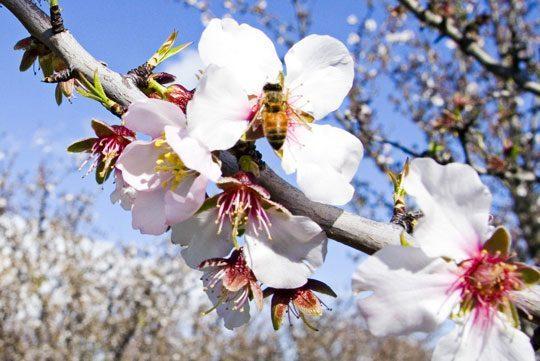 Pohľadnica kvety ceresna jar vcela vcielka 01  -