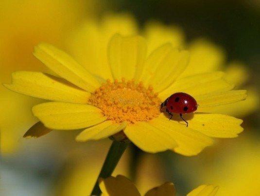 Pohľadnica kvety zlte leto lienka  -