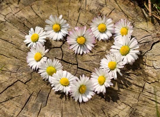 Pohľadnica margaretky jar láska  -