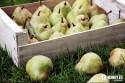 jesen-uroda-rocne-obdobia-ovocie-hrusky-01.jpg