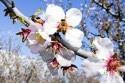 kvety_ceresna_jar_vcela_vcielka_01.jpg