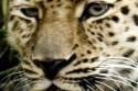 leopard-selmy_06.jpg