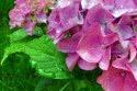 priroda_kvety_hortenzia.jpg