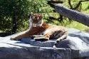 tiger-selmy_17.jpg