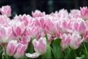 tulipan_013.jpg