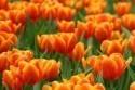 tulipany_oranzova_1.jpg