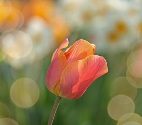 Pohľadnica nezny tulipan  -