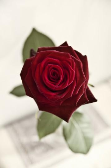Pohľadnica ruza ruze roses  - k meninám, príležitosti