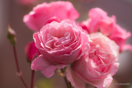 Pohľadnica ruza ruze roses 2  -