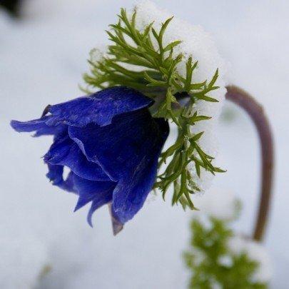 Pohľadnica sneh zima kvet zvoncek  -