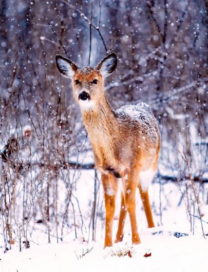 Pohľadnica zimny les srnka  -
